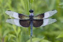 Blue Dragonfly covered with dew Stock Images