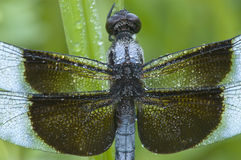 Blue Dragonfly covered with dew. A blue dragonfly (Libellula luctuosa) or Widow Slimmer, Male, covered with morning dew Royalty Free Stock Photo