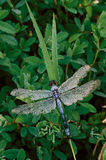 Blue Dragonfly with Dew Stock Photography