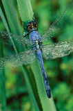 Blue Dragonfly with Dew Royalty Free Stock Photography