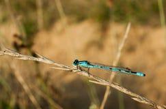 Blue dragonfly stock photos