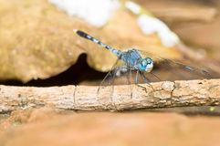 Blue Dragonfly on Dry Branch Stock Photo
