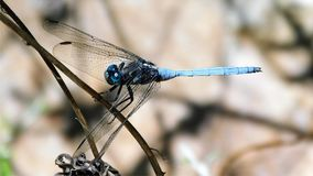 Blue dragonfly on a dry twig Stock Photo