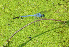 Blue Dragonfly in Duckweed Pond Royalty Free Stock Photography