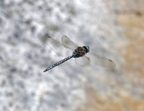 Blue dragonfly flying Royalty Free Stock Image
