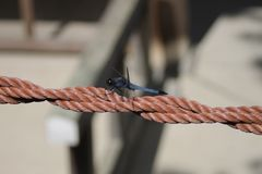 Blue dragonfly. Free Dragonfly on orange rop Stock Image