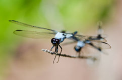 Blue dragonfly from front Stock Photo
