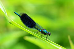 Blue dragonfly on grass leaf on green background stock image