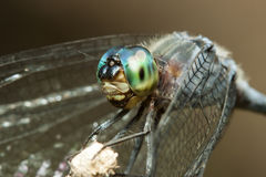 Blue dragonfly with green eyes macro portrait on a stick Royalty Free Stock Images