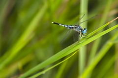 Blue dragonfly on green grass stock photo