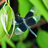 Blue Dragonfly on Green Leaf Royalty Free Stock Photo