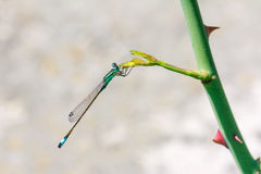 Blue dragonfly on a plant branch Royalty Free Stock Photo