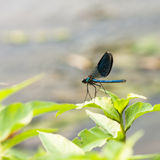 Blue dragonfly on a green plant Royalty Free Stock Photos