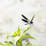 Blue dragonfly on a green plant Royalty Free Stock Photography