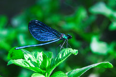 Blue dragonfly on a green plant in summer Stock Photography