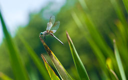 Blue Dragonfly Royalty Free Stock Photography