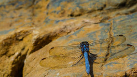Blue dragonfly. Stock Images