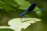 Blue dragonfly Stock Photography