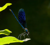 Blue dragonfly on a leaf Royalty Free Stock Photos