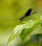 Blue dragonfly on a leaf Royalty Free Stock Photography