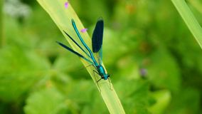 Blue dragonfly on a leaf. Blue colored dragonfly on a leaf next to a creek Stock Photo