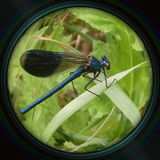 Blue dragonfly on leaf in objective lens Stock Photos