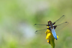 Blue dragonfly, Libellula depressa, sitting on a yellow flower Stock Photo