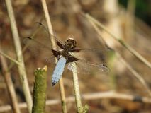 Blue dragonfly Libellula depressa in summer. royalty free stock photos