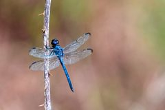 Blue dragonfly Libellula incesta stock image