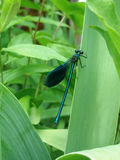 Blue dragonfly. With a long torso sitting on a leaf Royalty Free Stock Photography
