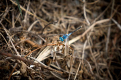 Blue dragonfly in the meadow Stock Photo