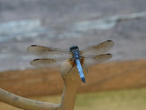 Male Blue Dasher Dragonfly on a Metal Chair (Close-up Macro) Stock Photo