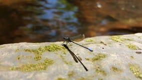 Blue dragonfly. Odonata at lake Royalty Free Stock Image