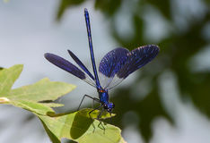 Blue dragonfly with open wings. Royalty Free Stock Images