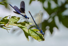 Blue dragonfly with open wings. Royalty Free Stock Photos