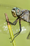 Blue Dragonfly perched on a stick Stock Photo