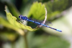 Blue dragonfly on plant. In the sun Royalty Free Stock Image