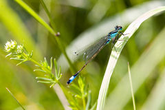 Blue dragonfly on pond. On beautiful blurred nature green background Stock Photography