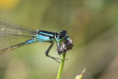 Blue dragonfly. With prey on the steam Royalty Free Stock Photo