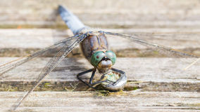 Blue dragonfly protecting eggs Stock Images