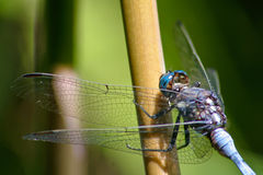 Blue Dragonfly resting. Macro image of a blue dragonfly which is resting on a bamboo shoot Royalty Free Stock Photography