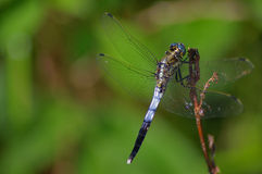 Blue dragonfly resting on a branch. A blue dragonfly resting on a branch with a green background stock images