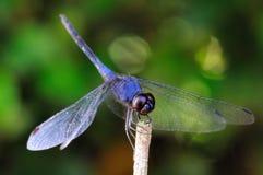 Blue Dragonfly Royalty Free Stock Photos