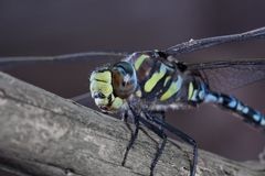 Blue Dragonfly resting on branch Stock Photo