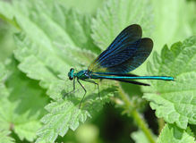 Blue dragonfly resting on a green leaf Royalty Free Stock Photography