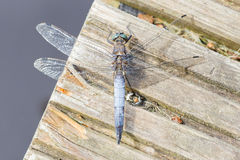 Blue dragonfly resting on wood royalty free stock photo