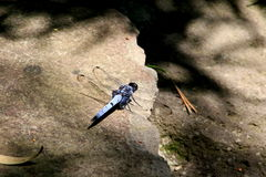 Blue Dragonfly 3 Royalty Free Stock Image