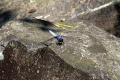 Blue Dragonfly 5 Stock Images