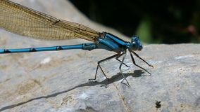 Blue dragonfly on rock. Detail of blue dragonfly on rock in sunny day Royalty Free Stock Photo
