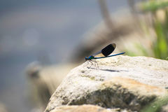 Blue dragonfly on a rock near the river side. With depth of field background Stock Image